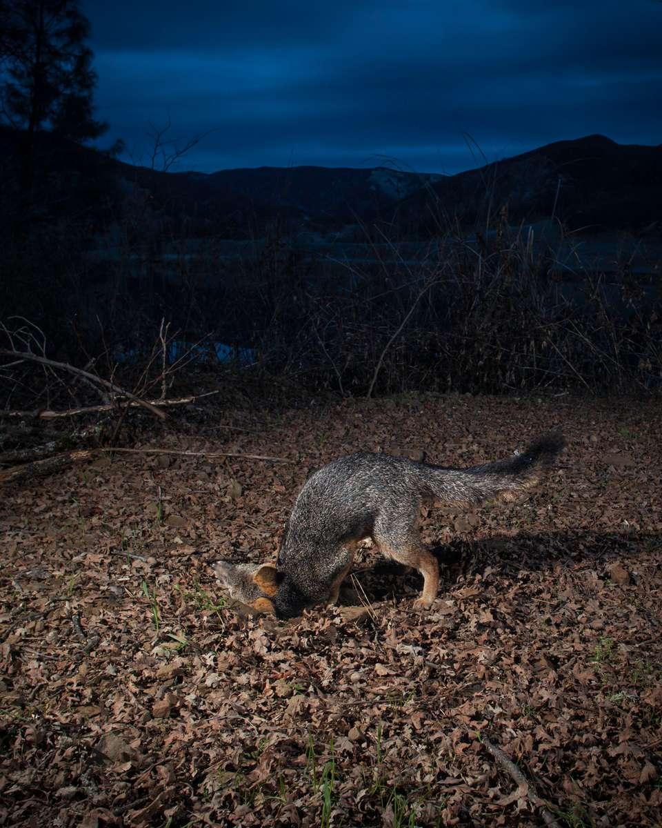 Grey fox scent marking. (Camera Trap)