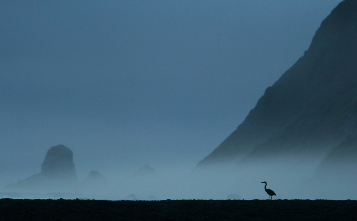 Great Blue Heron, Lost Coast, California