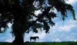 A lone horse stands in the shade of a tree along the banks of the RIo Sarapiqui in north eastern Costa Rica.