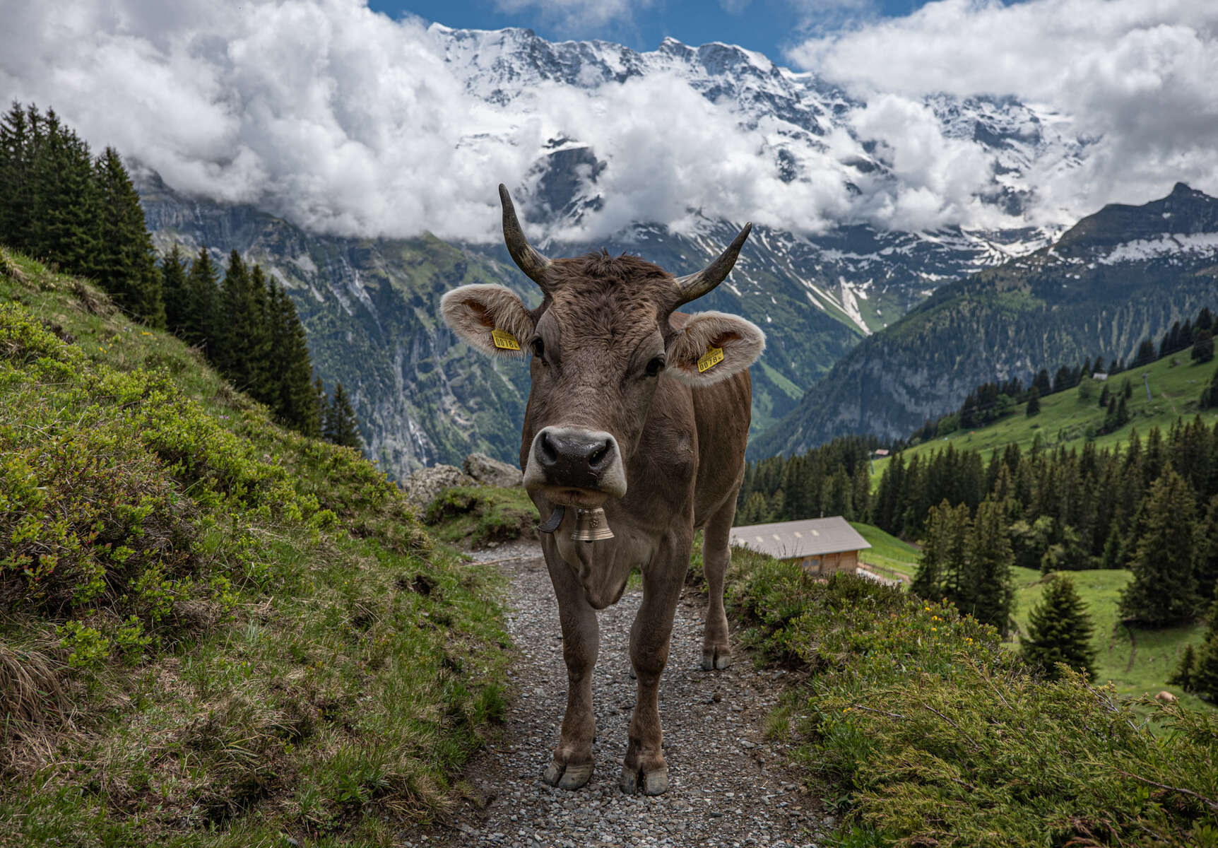 Swiss cow near Murren, Switzerland.