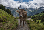 Swiss cow near Murren, Switzerland.