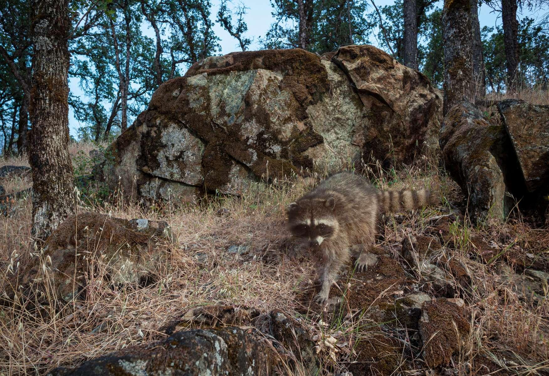 Racoon on a twilight stroll. (Camera Trap)