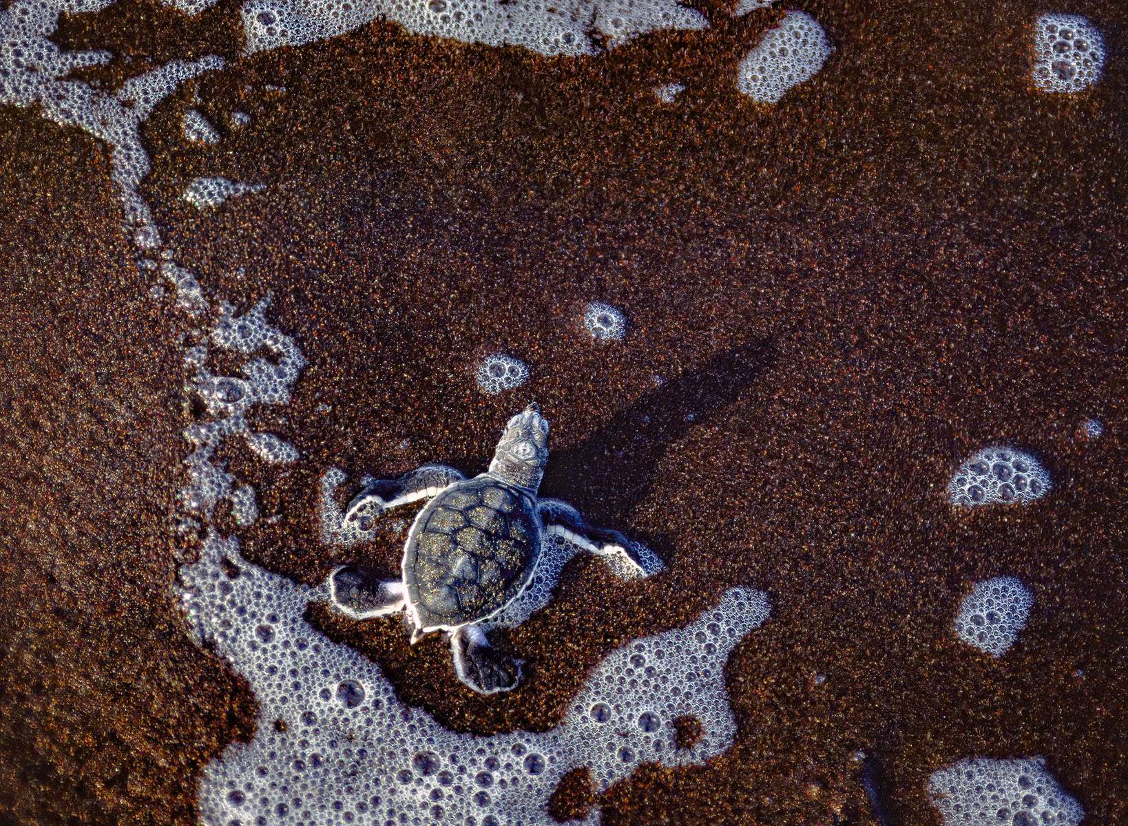 A green sea turtle hatchling makes it to the Caribbean Sea after its' nest was attacked by wild dogs. Tortugero, Costa Rica