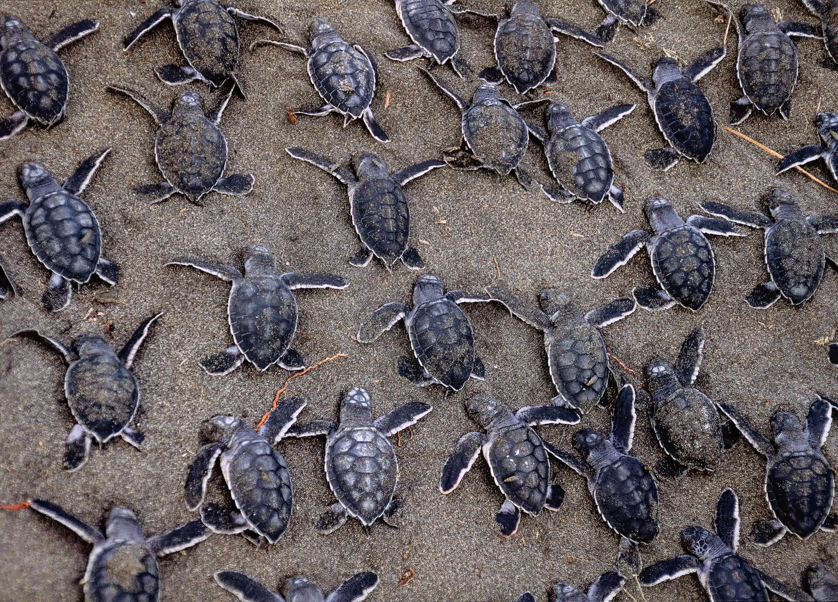 Wild dogs attacked this nest of green sea turtles. Locals dug up the survivors and protected them until they were able to scramble down to the crashing waves of the Caribbean Sea. Tortugero, Costa Rica