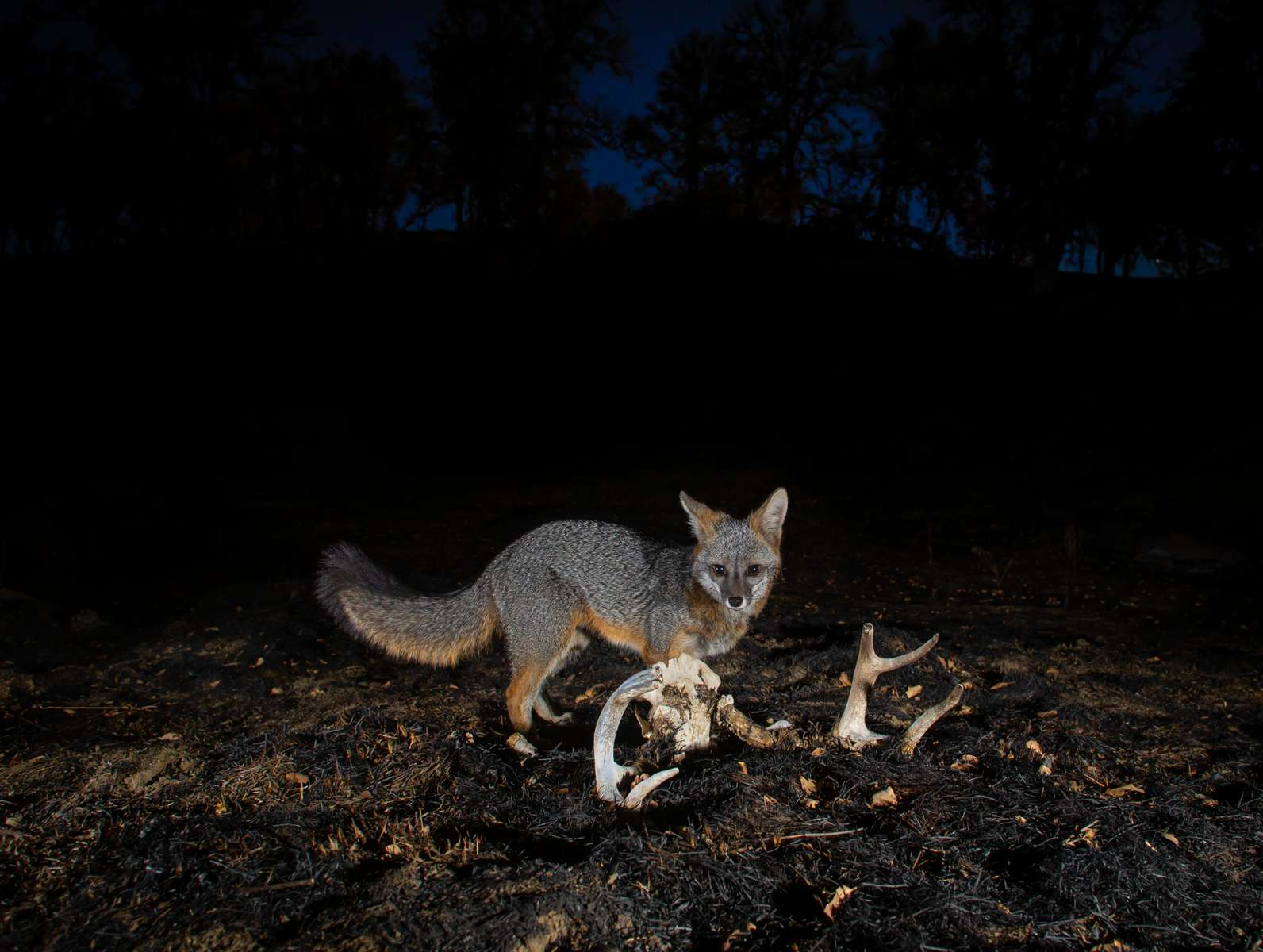 A gray fox investigates an old skull after a wildfire. Berryessa Snow Mountain National Monument, California (camera trap)