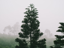 Lone Japanese pine tree in fog
