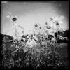Radiation Contaminated Sunflower