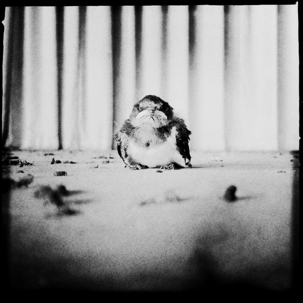 Fukushima: Today I found a baby swallow at the altar at an abandoned elementary school in Ukedo, a highly restricted area in Fukushima. I don't know why she was out of her nest. She was seemingly fine, even somehow friendly. But I have to tell that she is living in a radiation-contaminated food chain due to the 2011 Fukushima nuke power plant disaster. And nobody knows how long such a dangerous food chain continues. #badyswallow #swallow #bird #food_chain #ukedo #radiation #radiation_food_chain #fukushima