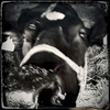 A Fukushima cow survivor, evacuated from Tsushima's dairy farm. Feb/ 2013, Motomiya.