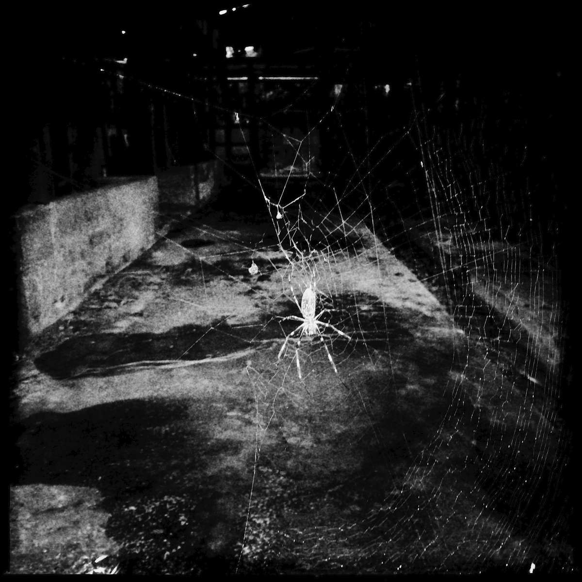 Radiation contaminated spider at an abandoned dairy farm. Nov/ 2014, Tsushima, Namie.