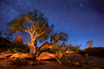 Ancient knarled Juniper surviving on ancient Red Rocks, within the Ancient Galaxy. 