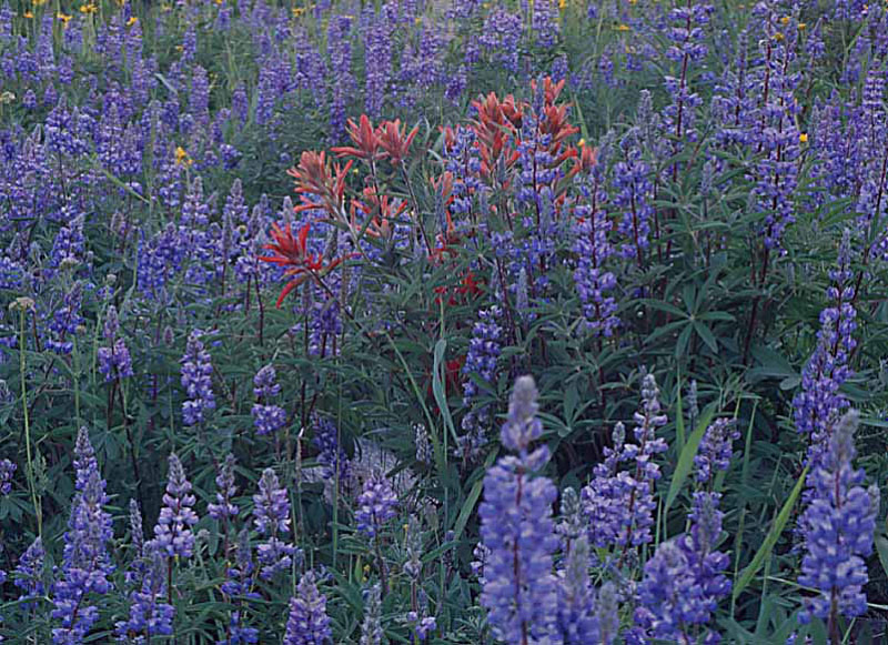 xLupine_Paintbrush