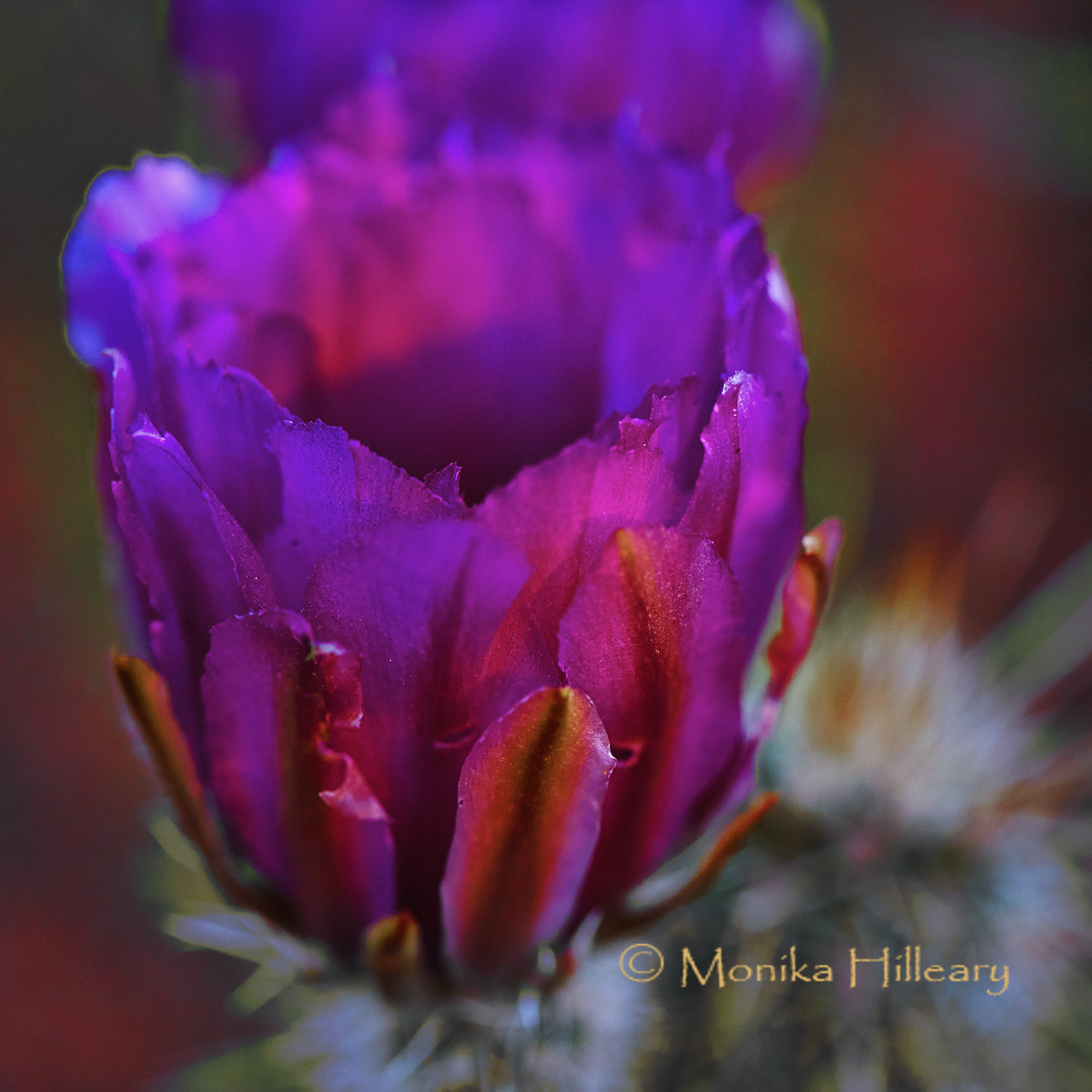 Purple Prickly Pear Flower