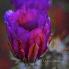 Purple Prickly Pear Flower