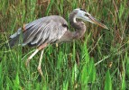 USA-TODAY-NO_3-HERON