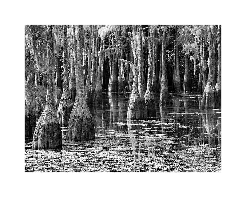 Cypresses I8x10 - 40.0011x14 - 80.0016x20 - 145.0020x24 - 195.0024x30 - 275.00Printed with borders on acid-free archival paper using archival inks.  Signed in lower righthand corner.