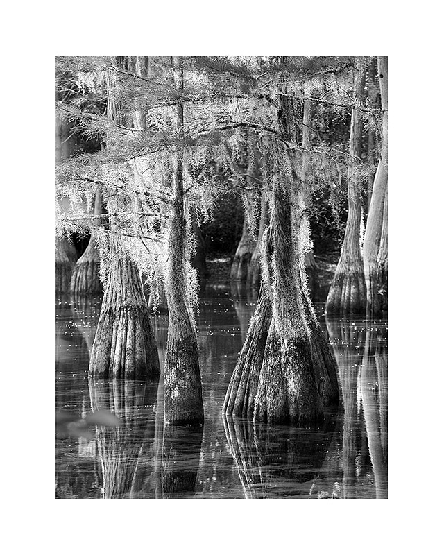 Cypresses V8x10 - 40.0011x14 - 80.0016x20 - 145.0020x24 - 195.0024x30 - 275.00Printed with borders on acid-free archival paper using archival inks.  Signed in lower righthand corner.