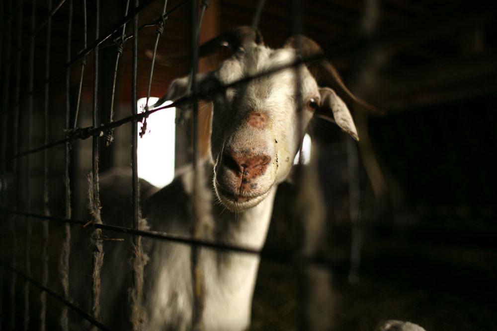 Goat Farm   --   Illinois