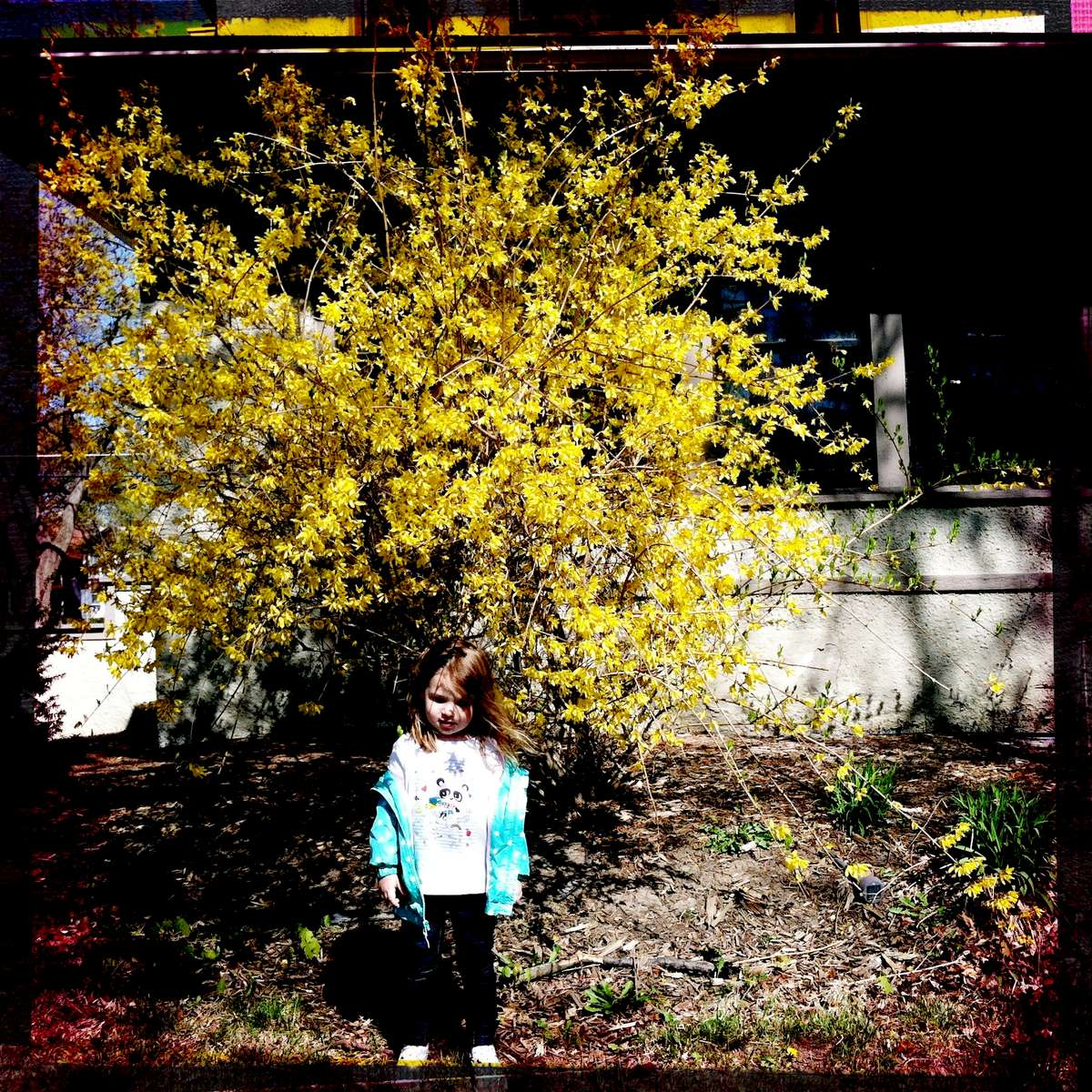 {quote}I'm trying to be a flower, Mama.{quote} Rose acting otherworldly under a forsythia tree. April 2015.