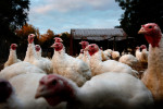 Turkeys wait to be fed at the Flanagan Farm in Virginia Beach, Va. One hundred and eighty five turkeys were killed, processed and sold on the Monday before Thanksgiving.