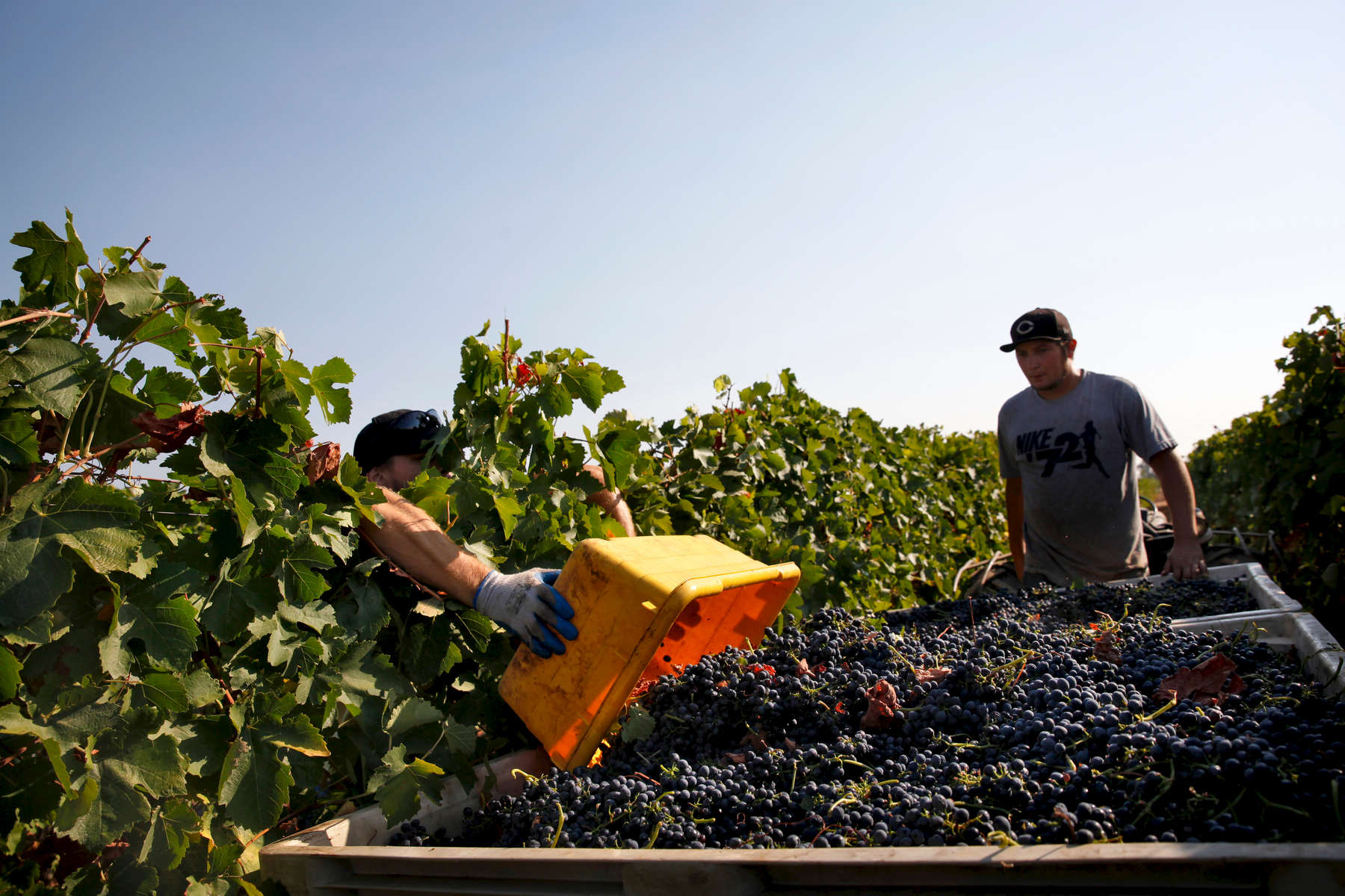 Workers harvest Syrah grapes at Borra Vineyards in Lodi, Calif., on Thursday, August 20, 2015. (Photo by Preston Gannaway © 2015)