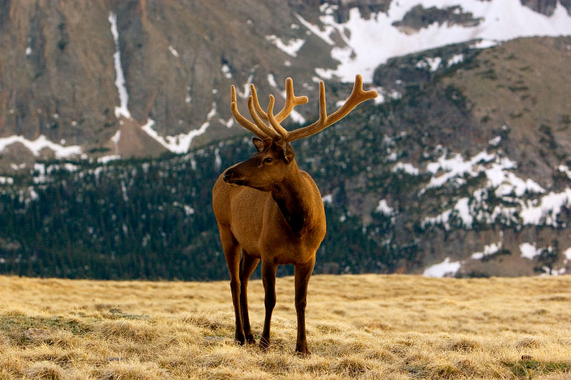 Elk, Rocky Mounatin National Park, Colorado, 2008.