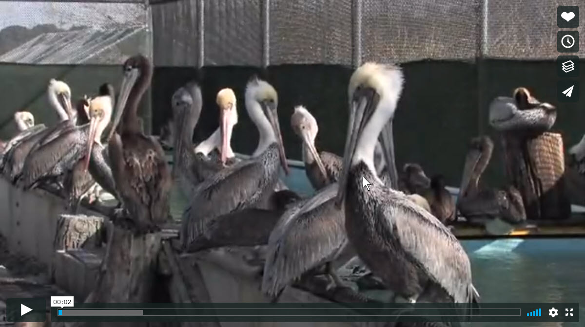 At the International Bird Rescue Research Center (IBRRC) in Fairfield, California researchers and volunteers come together to help out the Brown Pelicans as they fight off a rare and unexplained illness.  The Pelican Partners are made up of a group of volunteers who donate their time and money to help with the research and rehabilitation.