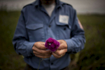 HALO supervisor Melord Aslanian makes a bouquet of thistle flowers in Govshatly village in the Hadrut region.