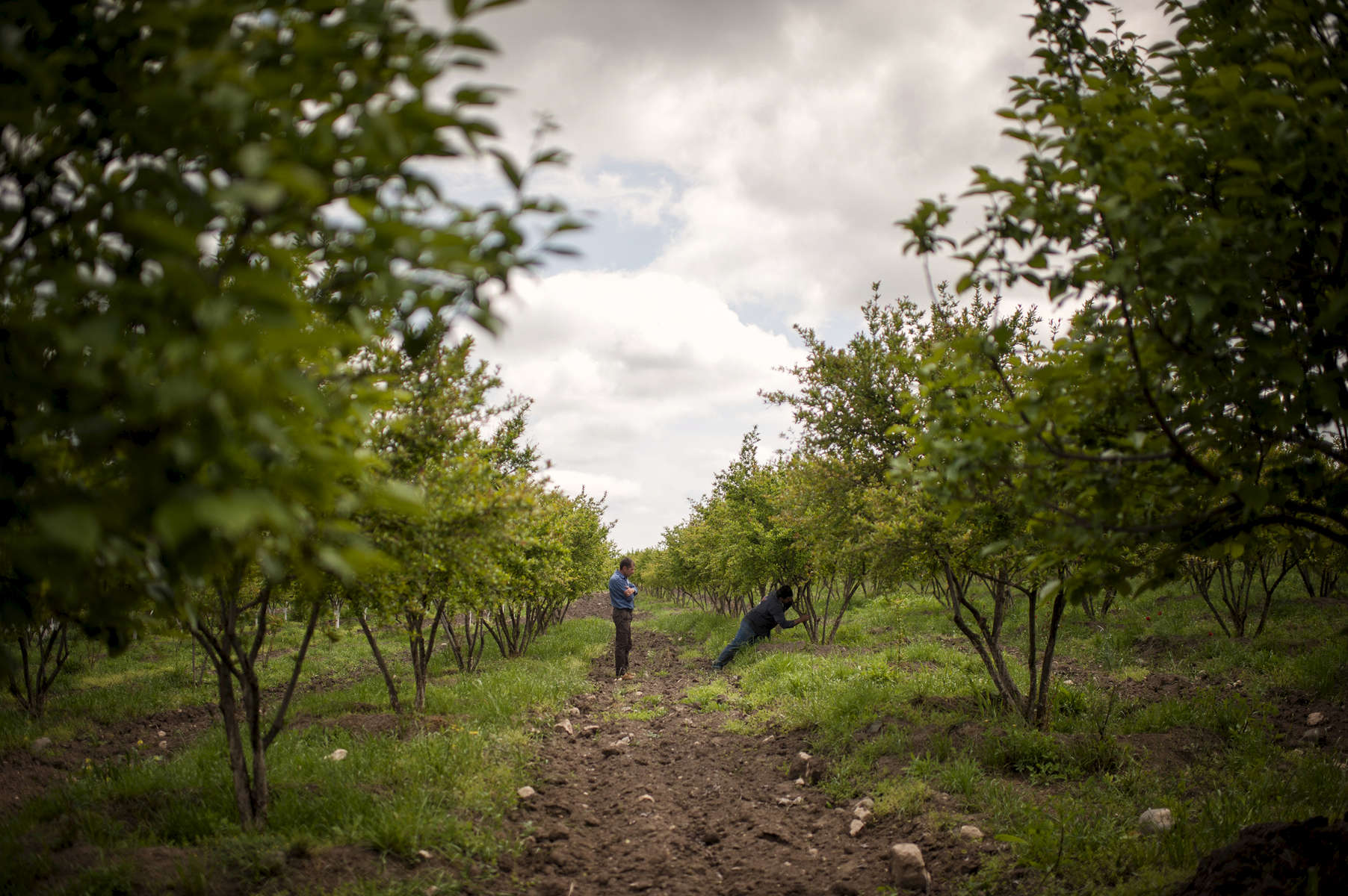 Beneficiaries Arthur Arzumanian and his partner Gohar tend their orchard in Shelly, during a visit from friend and HALO Supervisor Melord Aslanian.
