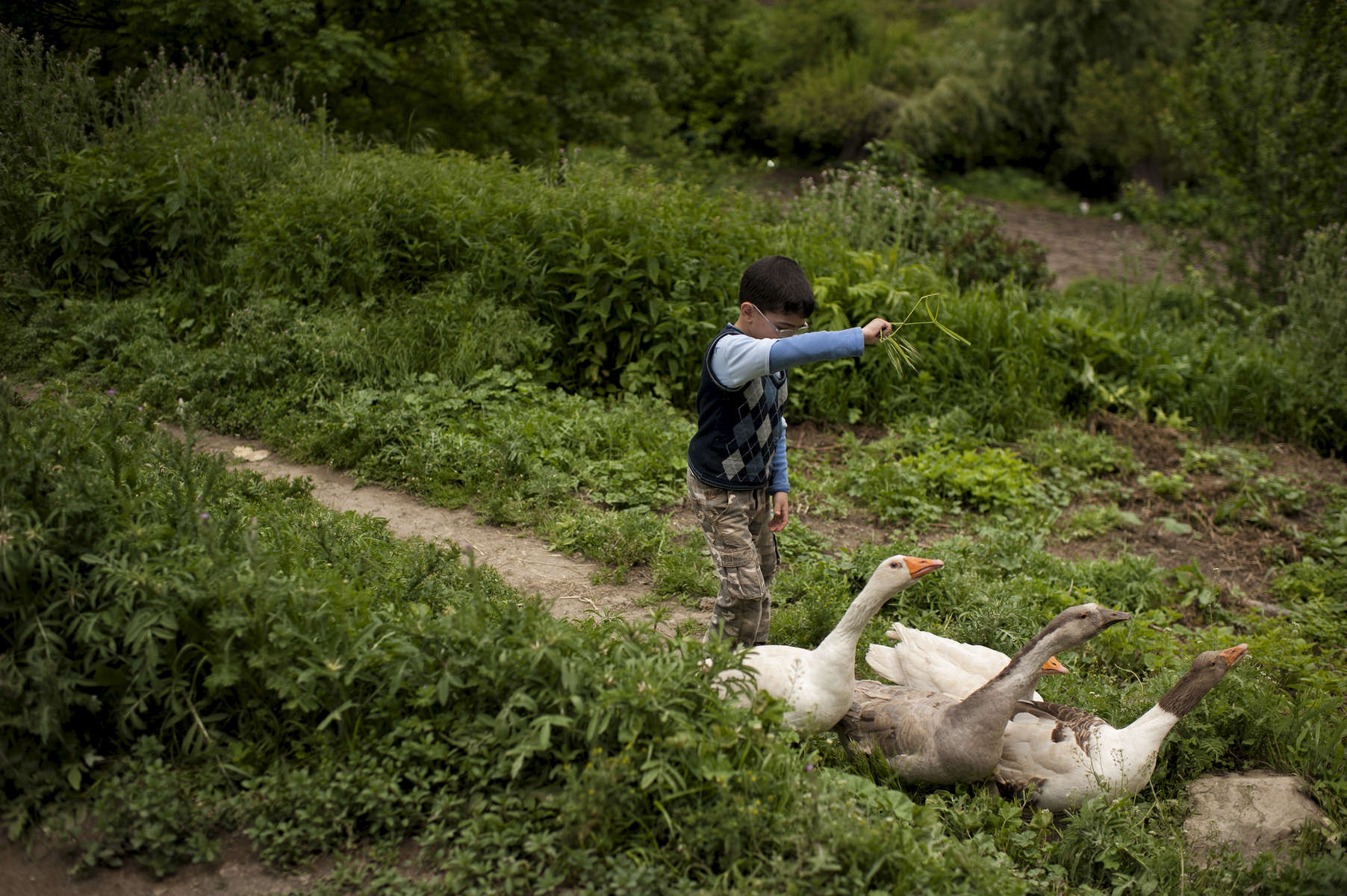 The son of a beneficiary (NAME TK) herds geese back to his family's home in Harav village. NAMES TK