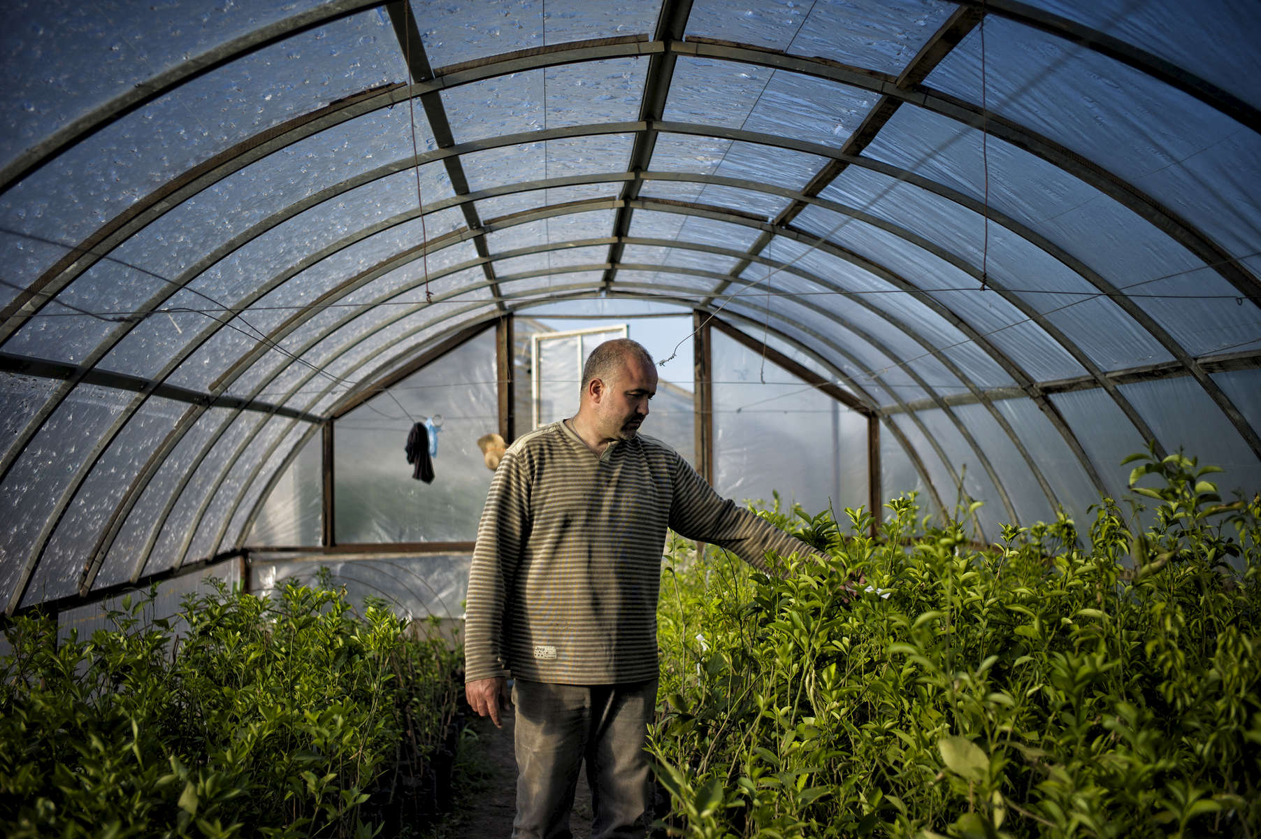 June 15, 2013: BERKADZOR, NAGORNO-KARABAKH-   Syrian-Armenian Vrej Esmerian walks through a greenhouse full of orange and lemon trees he has planted with his brother Hovig in Berkadzor, near the Nagorno-Karabakh capital of Stepanakert.  The brothers, who are originally from Aleppo are planting 15,000 saplings of different varieties ranging from citrus trees to olive trees to flowers, pine nuts, cactuses, grapes, coffee, and laurels, in an attempt to create a new industry for the unrecognized republic.  Deeply patriotic, Vrej considers this project to be his contribution to the Armenian people.  Nagorno-Karabakh, which in the Soviet Union was under the control of Azerbaijan, has been a de facto independent state since the 1988-94 Karabakh War in which its secessionist ethnic-Armenian population, backed by the Republic of Armenia, fought a war against the newly independent Azerbaijan, resulting in major population  shifts as Azeri residents of Karabakh fled to Azerbaijan and ethnic Armenians fled Azerbaijan for the Republic of Armenia.  While the war theoretically ended in 1994, hostilities occasionally flare up, and Karabakh's final status is far from settled, with Azerbaijan referring to it as occupied territory that it hopes to regain and Armenia controlling the only actual access to the republic. As a result, the movement of Syrian refugees into the territory, although voluntary on the part of the families rather than part of a state-run plan, has the potential to be extremely controversial.  Photo by Scout Tufankjian/Polaris
