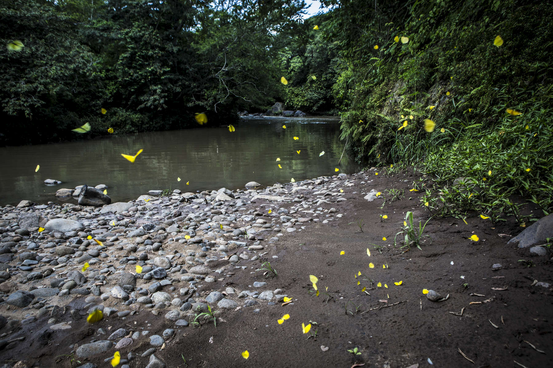 San Lorenzo, El Salvador- Butterflies fly by the Rio Pampe, one of the most heavily effected areas during the Ingenio La Magdalena molasses spill in San Lorenzo, El Salvador June 2018. In May 2016, nine thousand gallons of molasses spilled into the San Lorenzo and adjoining rivers killing life in and around the river for 80km and contaminating the water supply for thousands of people. After two lawsuits and millions of dollars in fines, Ingenio La Magdalena has effectively cleaned up the disaster but the damage has taken its toll on the wildlife, esp fish, that the local communities depend so heavily on. Many residents affected by the spill have yet to be compensated for damages to their livelihoods. (Jane Hahn)