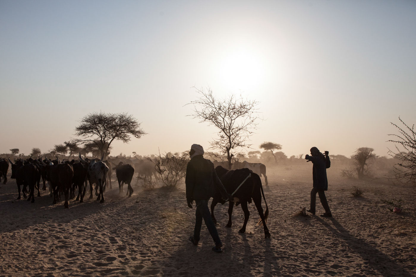 Herders lead their cows to be sold on the market in Northern Nigeria.
