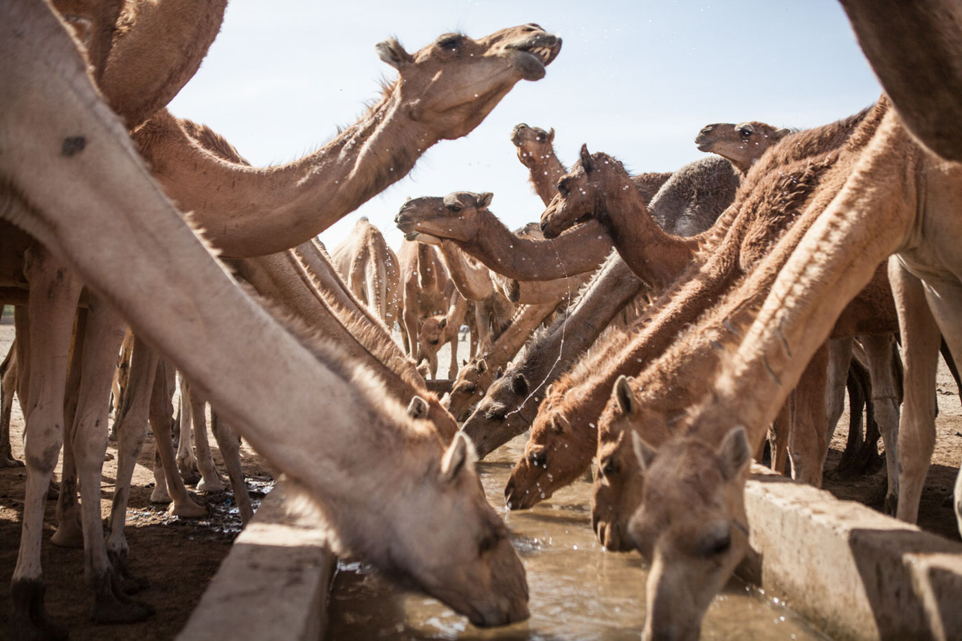 Camels take water in Kindjandi Town/Camp in Diffa, Niger.Kindjandi, a town of over 3000 is now supporting close to 23,000 displaced. Before the crisis, Kindjandi had one well to supply the towns people. Then during Ramadan last year, two displaced herders fought over the already scarce water, resulting in one death. Since then, aid agencies installed 15 more wells and 17 bladders containing 10,000L each (filled by truck twice a day) in order to provide enough water for the town, displaced people and the estimated 20,000 animals that visit each day in need of water. But agencies are worried as this is only a temporary solution that is not sustainable.