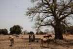 Women pound maize by a tree in Perai Village, Gambia