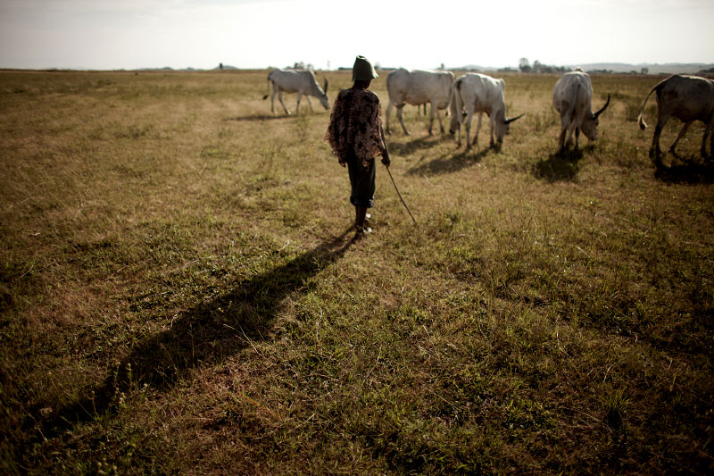A Fulani boy herds cows in Jos, South. Farming and grazing land in Jos is found in the south, a predominately Christian area. Many disputes erupt when herds destroy christian farm lands.