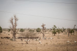 Cattle and sheep herd through the barren landscape outside of Maiduguri, Nigeria