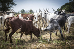 Barkin Ladi, Jos, Nigeria- Two cow clash horns outside of Makoli Vilage in Barkin Ladi, Nigeria on Tuesday, October 23, 2018. Makoli Village was saved by the Fulani herders belonging to that community when masked gunmen attempted to attack in June 2018. Growing animosity between ethnic groups coupled with a lack of security  has fomented this increase in violence in recent years. Despite the divisive chaos engulfing the Middle Belt of Nigeria, a group of multi-ethnic men and women, part of the Vigilante Group of Nigeria, are providing much needed security and trust to all groups affected by the conflict.