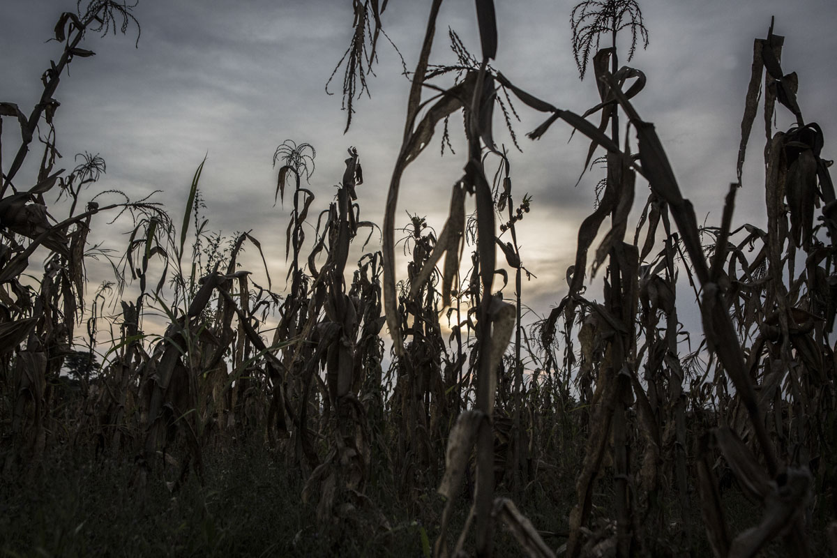 Barkin Ladi, Jos, Nigeria- A maize field outside of Nghar Village which was attacked in June and over 200 people were killed in Barkin Ladi, Nigeria on Tuesday, October 23, 2018. Many of the displaced fled to neighboring Yelwa Village where Imam Abubakar Abdullahi saved over 300 lives. Over one thousand people have lost their lives this year due to an ongoing conflict between farmers and herders. The current crisis reflects the country's woes from over-population, poverty and climate change to religious division and ethnic favoritism. Growing animosity between ethnic groups coupled with a lack of security  has fomented this increase in violence in recent years. Despite the divisive chaos engulfing the Middle Belt of Nigeria, a group of multi-ethnic men and women, part of the Vigilante Group of Nigeria, are providing much needed security and trust to all groups affected by the conflict.
