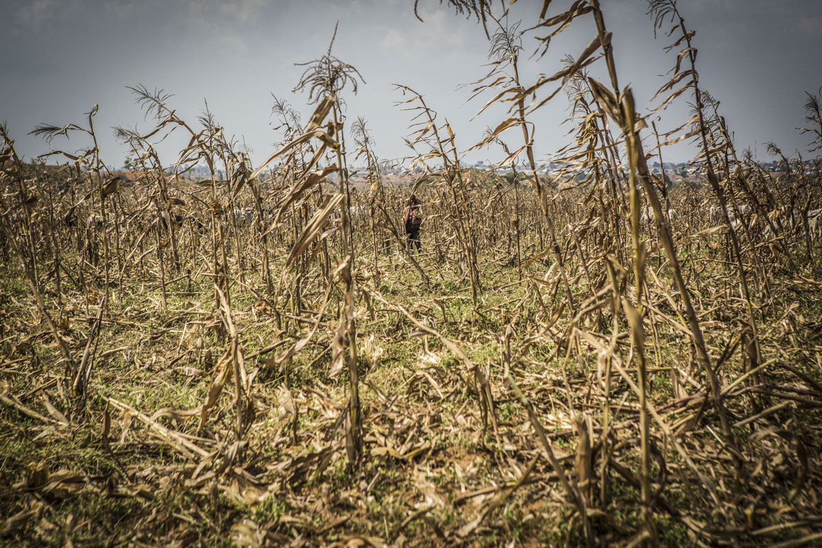Barkin Ladi, Jos, Nigeria- A young herder hides in a field of maize as members of the Vigilante Group of Nigeria, Barkin Ladi Division call out to him to ensure that he does not allow his cows to enter into a farm without the permission of the farmer, in Barkin Ladi, Nigeria on Wednesday, October 24, 2018. Over one thousand people have lost their lives this year due to an ongoing conflict between farmers and herders. The current crisis reflects the country's woes from over-population, poverty and climate change to religious division and ethnic favoritism. Growing animosity between ethnic groups coupled with a lack of security  has fomented this increase in violence in recent years. Despite the divisive chaos engulfing the Middle Belt of Nigeria, a group of multi-ethnic men and women, part of the Vigilante Group of Nigeria, are providing much needed security and trust to all groups affected by the conflict.
