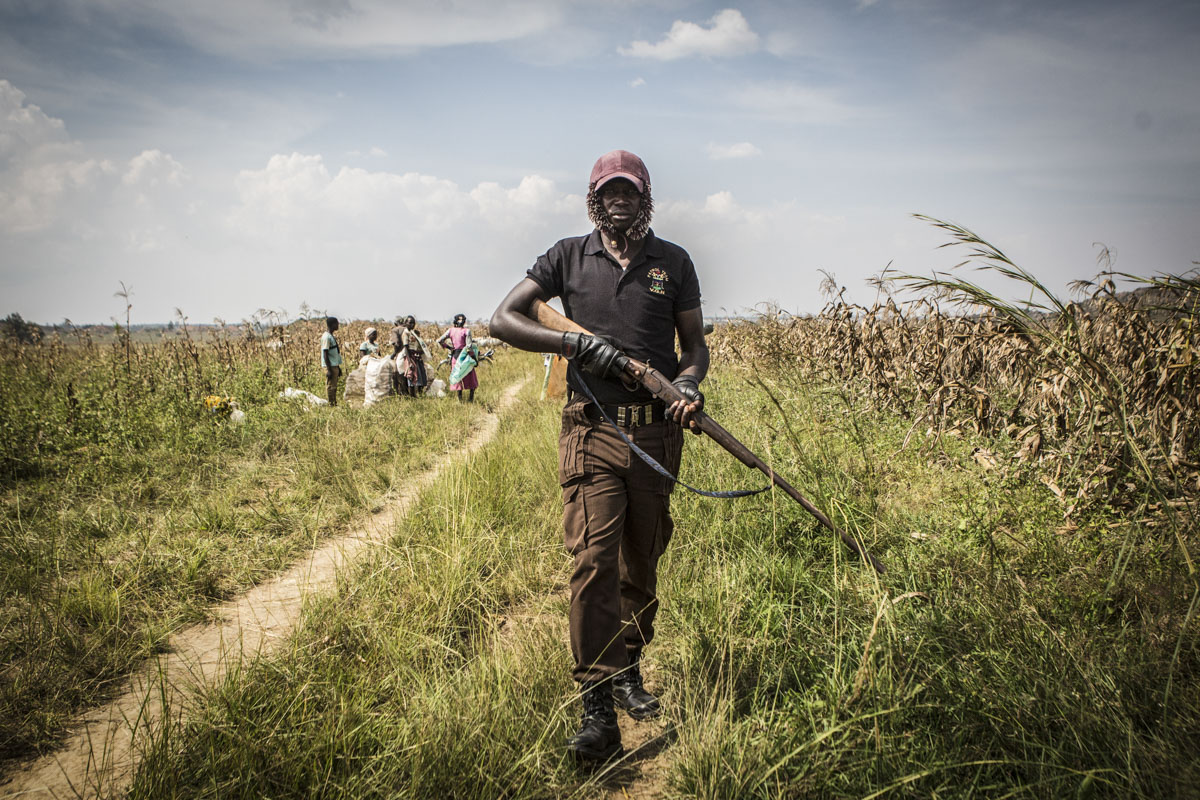 Barkin Ladi, Jos, Nigeria- A member of the Vigilante groups of Nigeria, Barkin Ladi Division walks along side a maize field in Barkin Ladi, Nigeria on Wednesday, October 24, 2018. Vigilantes were called by farmer Amos Lenji after he confronted a group of herders who allowed their cows to graze in his maize farm that was not yet harvested. After one of the young herders threatened the life of Lenji, herder Muhammed Yusuf came forward to take responsibility for the actions of the other herders. Over one thousand people have lost their lives this year due to an ongoing conflict between farmers and herders. The current crisis reflects the country's woes from over-population, poverty and climate change to religious division and ethnic favoritism. Growing animosity between ethnic groups coupled with a lack of security  has fomented this increase in violence in recent years. Despite the divisive chaos engulfing the Middle Belt of Nigeria, a group of multi-ethnic men and women, part of the Vigilante Group of Nigeria, are providing much needed security and trust to all groups affected by the conflict.