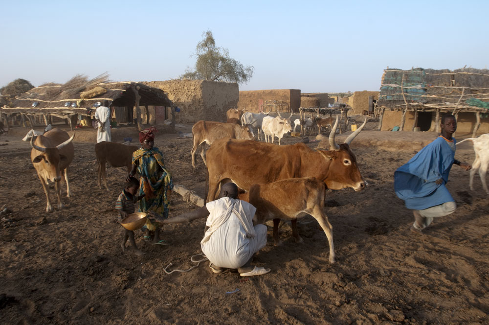 A village elder and his children milk a cow for the morning meal in Gorgol province.Boitieck Ehel Aly, Mauritania.Photo © J.B. Russell