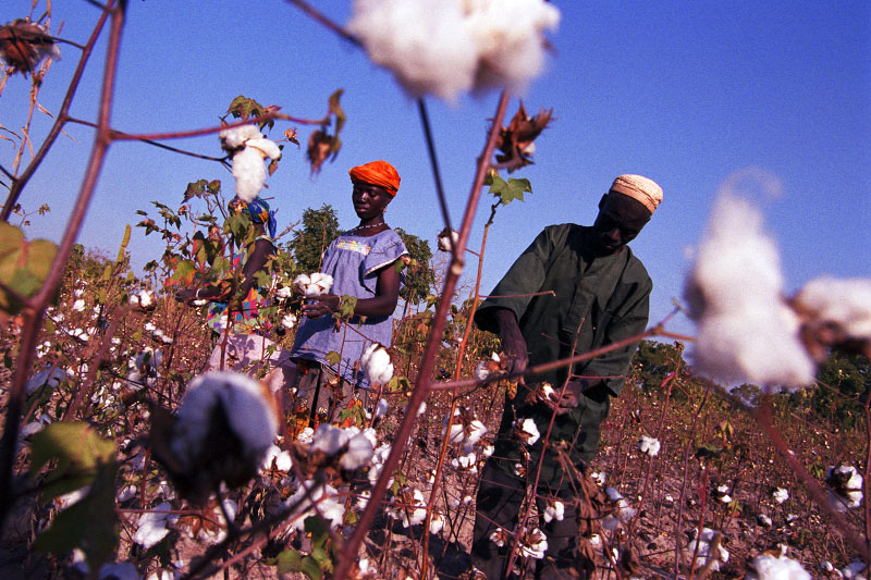 Farmers harvesting their cotton. Two million farmers depend directly on cotton for survival in Burkina Faso, the country's only cash crop. Cotton farmer collectives have been instrumental in the development of Burkina's cotton industry and have been influential in lobbying against farm subsidies given to cotton producers in rich countries. Cotton farmers in the developing world believe that these subsidies have driven world cotton prices to historical lows and constitute unfair trade practices.Koundougou, Burkina Faso.Photo © J.B. Russell