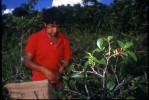 A coca farmer harvests coca leaves in a remote village.  El Chapare, in Bolivia's central lowlands, is the country's principle coca producing region and the heart of the war on drugs.Eterazama, El Chapare, Bolivia.Photo © J.B. Russell