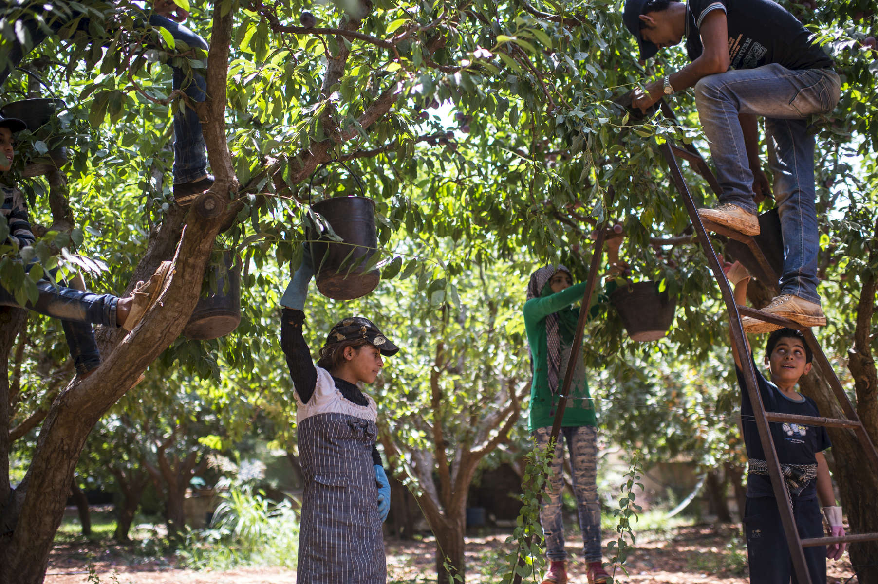 Hanaa picks plums from before dawn through the early afternoon in an orchard, where she started before dawn and finished around 2pm, along with other Syrian refugees from her informal tented settlement in the Bekaa Valley, between the city of Zahle and Baalbak, in Lebanon, August 3, 2015.  Hanaa and her family fled Syria in 2011 at the beginning of the Syrian civil war, and moved to this settlement two years ago, along with other Syrian refugees from Hasaka and the surrounding areas. Hanaa and other children in the settlement work for up to ten hours a day in agricultural lands owned by Lebanese in the area, and earn the equivalent of $5. per day.