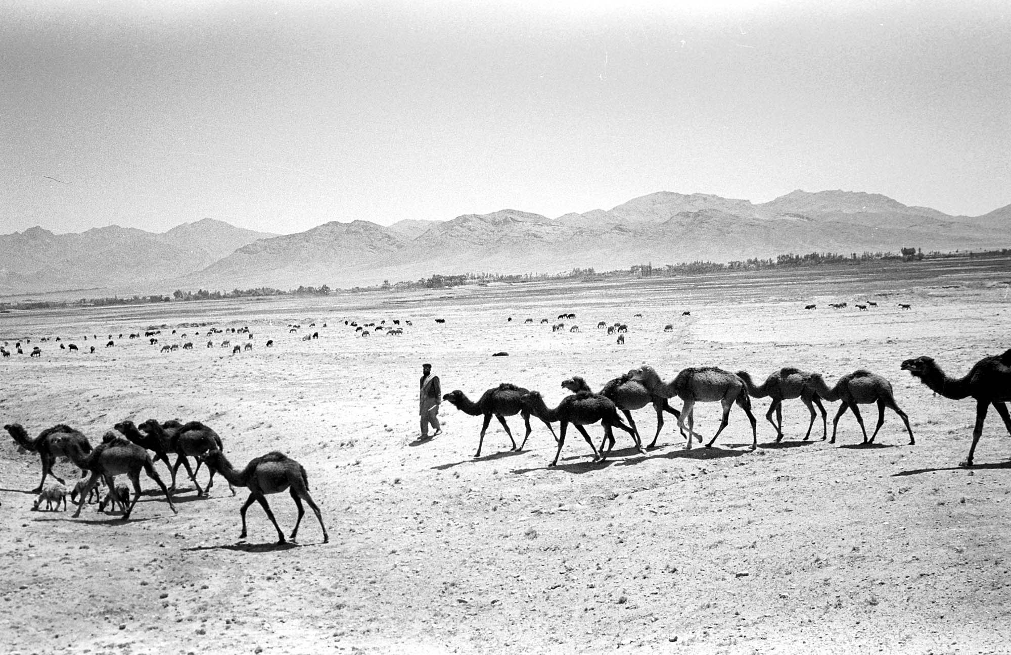 Life under the Taliban: A man walks with his camels in Wardak province in Afghanistan May 2000.