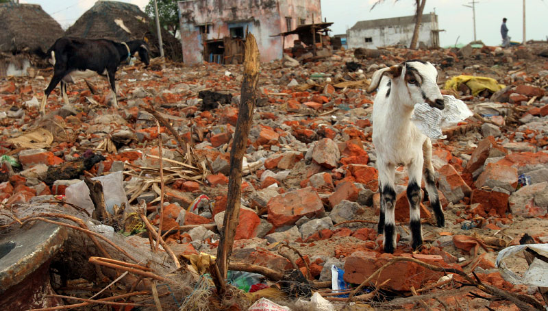 Goats roam what's used to be a fishing village in Nagapattinam, India.