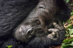 Silverback relaxes at Kahuzi-Biega National Park, 25 miles outside Bukavu, in the province of South Kivu in Democratic Republic of Congo Sunday October 3, 2005. Wild animals, including Highland Gorillas, were poached for food during its civil war. There were 252 gorillas in the park in 1992 before the war broke out. Only 106 remains today, however the number is slowly increasing due to relative stability and support from NGOs. Photo by Jiro Ose / Redux Pictures
