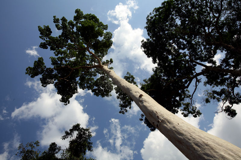 Young afrormosia, highly valued tropical hardwood, stands tall in the Village of Yafunga March 23, 2007.
