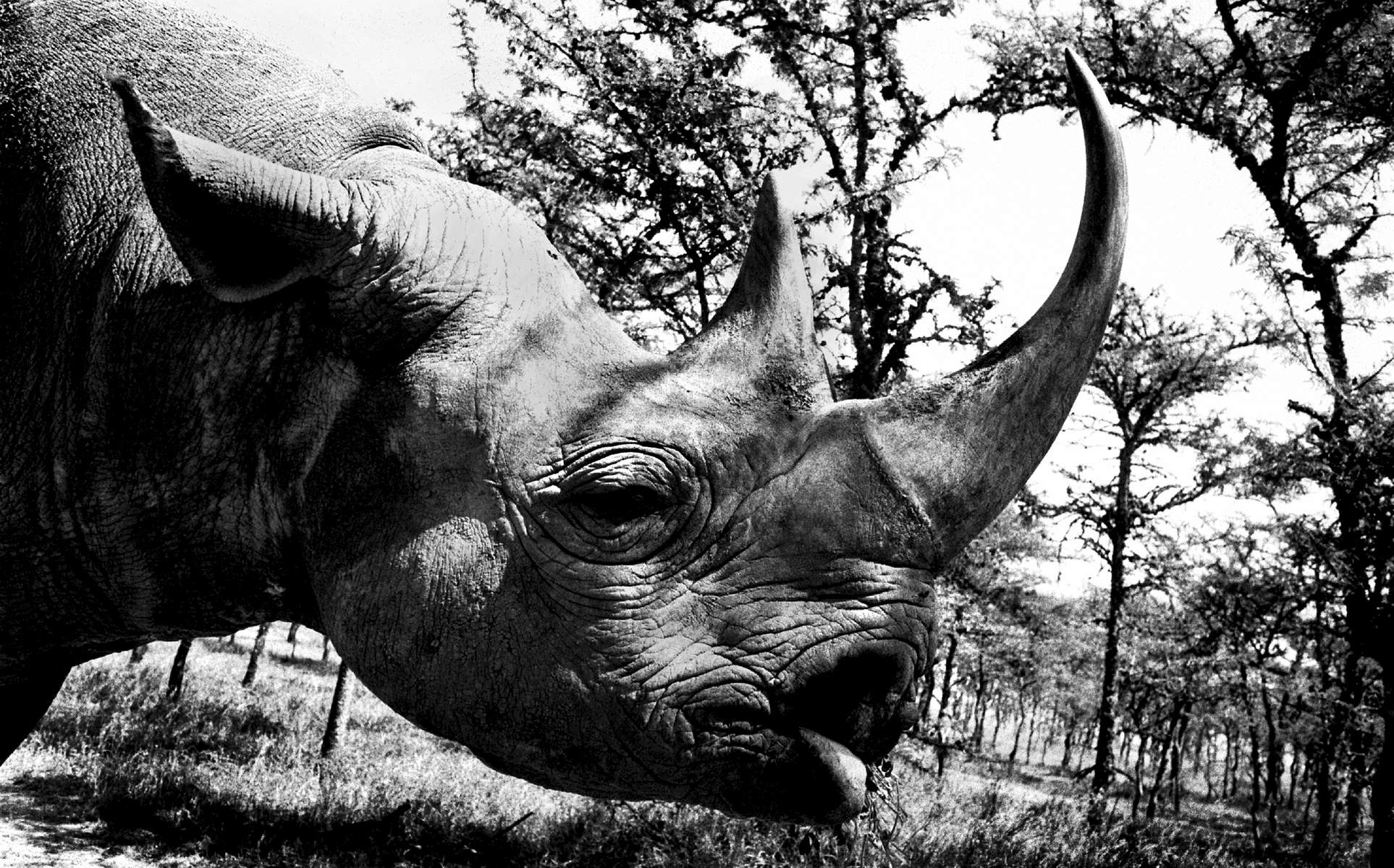 A habituated black rhino in a private reserve at Sweetwaters tented camp, Kenya30 x 45 cm | $800 USD
